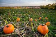 28th Sep 2020 - Pumpkin Patch