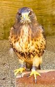 28th Sep 2020 - Hawk.