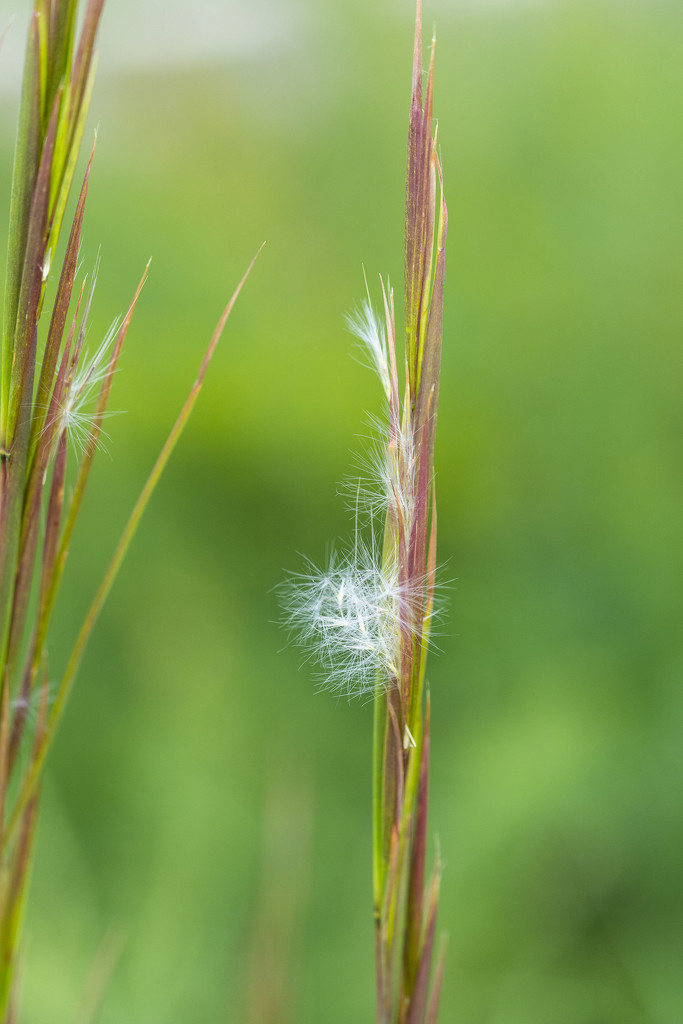 Grass Seed Pod by k9photo