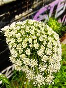29th Sep 2020 - Carrot Flower Part II