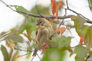 28th Sep 2020 - American Goldfinch