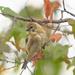 American Goldfinch by fayefaye