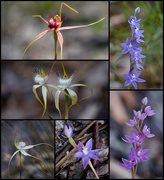 28th Sep 2020 - Spider Orchids And Sun Orchids