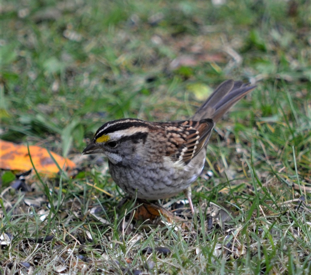 White-throated sparrow by mjmaven