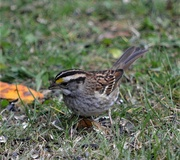 27th Sep 2020 - White-throated sparrow