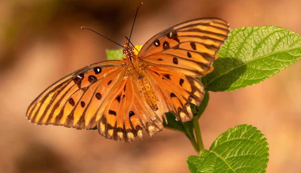 Gulf Fritillarly Butterfly Up Close! by rickster549