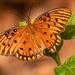 Gulf Fritillarly Butterfly Up Close!