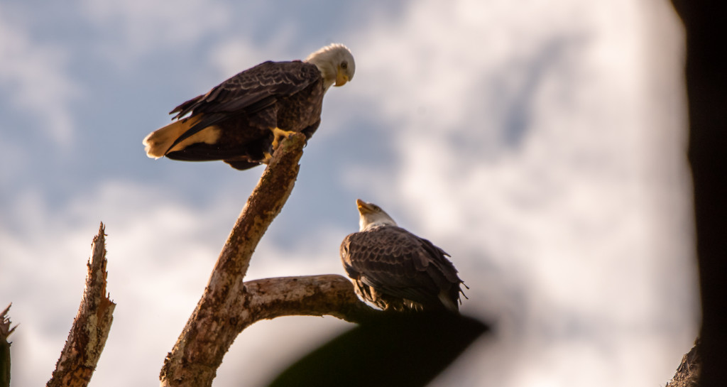 Bald Eagles in the Clouds! by rickster549