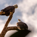 Bald Eagles in the Clouds!