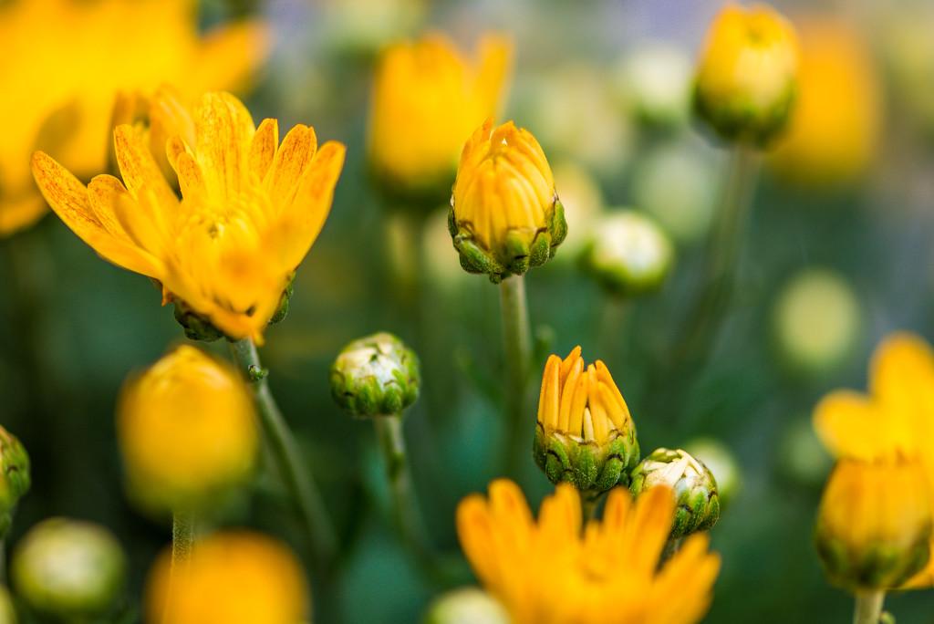 Chrysanthemum  by kwind