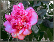 29th Sep 2020 - The last Camelia for this month