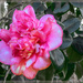 The last Camelia for this month