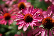 29th Sep 2020 - echinacea purpurea magnus