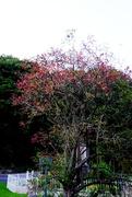 28th Sep 2020 - Flaming Tree