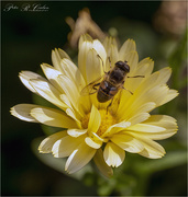 28th Sep 2020 - Hoverfly