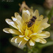 Hoverfly by pcoulson