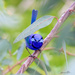 SPLENDID FAIRY WREN by glendamg