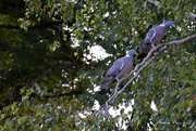 22nd Sep 2020 - 2 pigeons