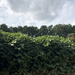 Kudzu and clouds