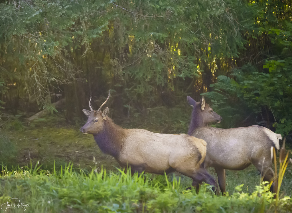 Young Buck (Roosevelt Elk) and One Of His Harem by jgpittenger