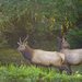 Young Buck (Roosevelt Elk) and One Of His Harem