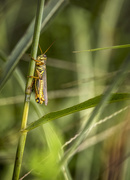 29th Sep 2020 - Striped Grasshopper