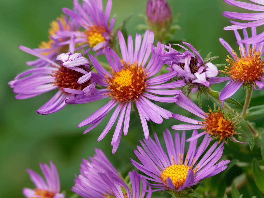 New England asters by rminer