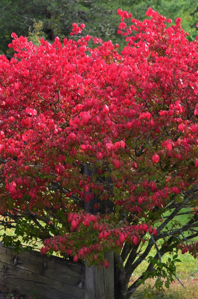 Burning Bush by mjmaven
