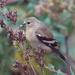 American Goldfinch by annepann
