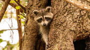 29th Sep 2020 - Rocky Raccoon Checking Me Out!