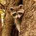 Rocky Raccoon Checking Me Out!