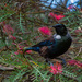 Tui in the bottle brush