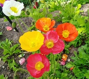 29th Sep 2020 - Iceland Poppies