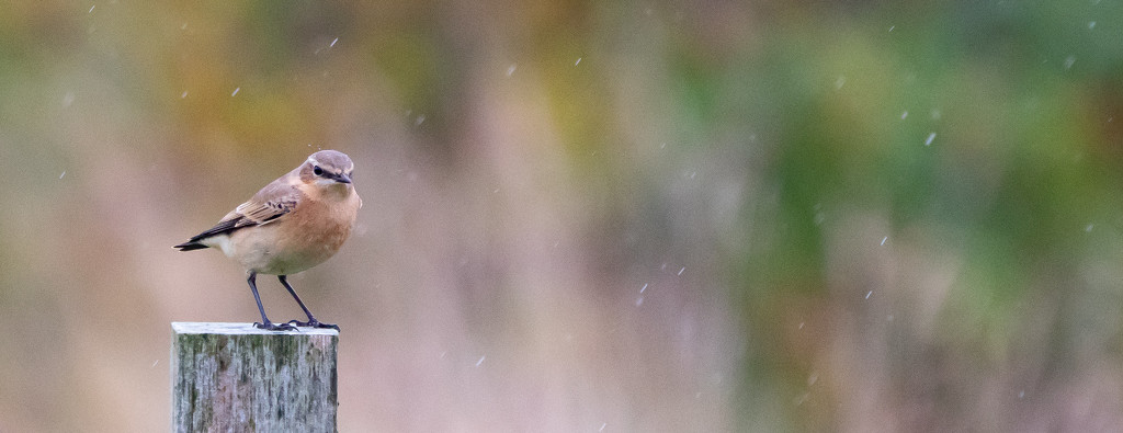 Wheatear in the Rain by lifeat60degrees