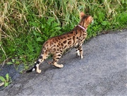 28th Sep 2020 -  A Small Leopard?