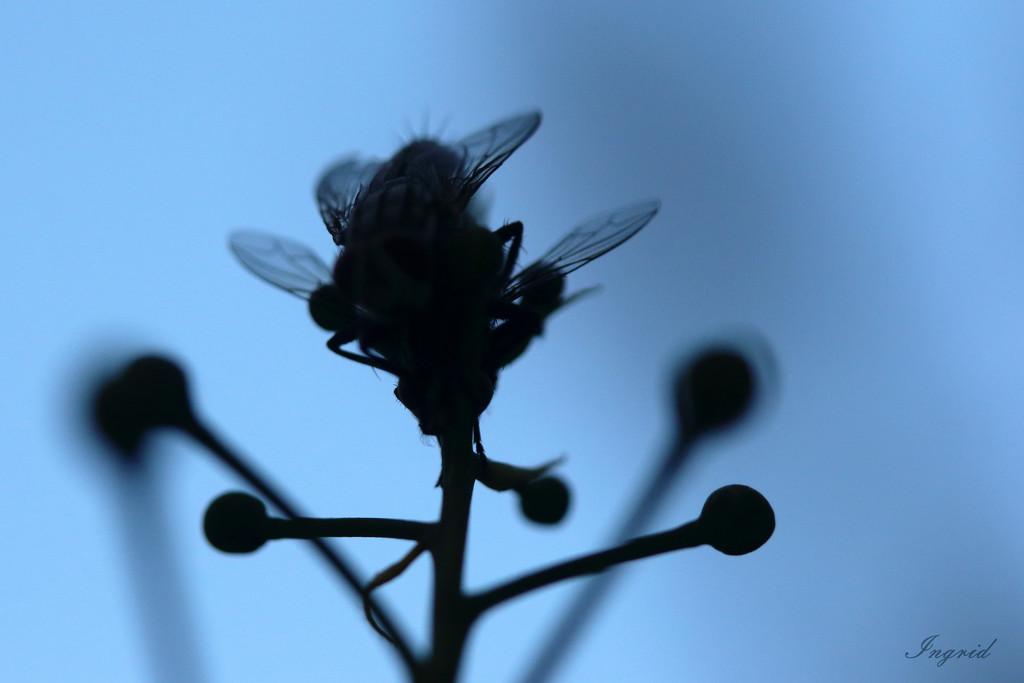 Double flies...  by ingrid01