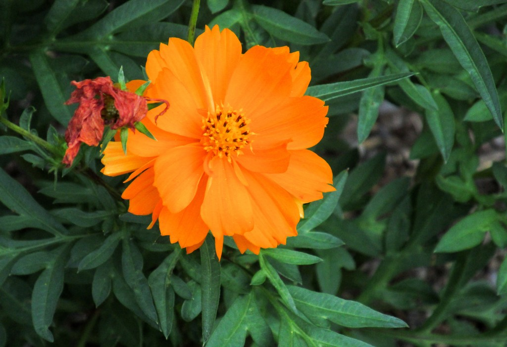 Marigold by mittens