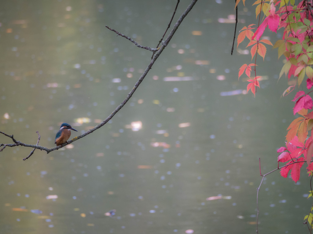 River kingfisher by haskar