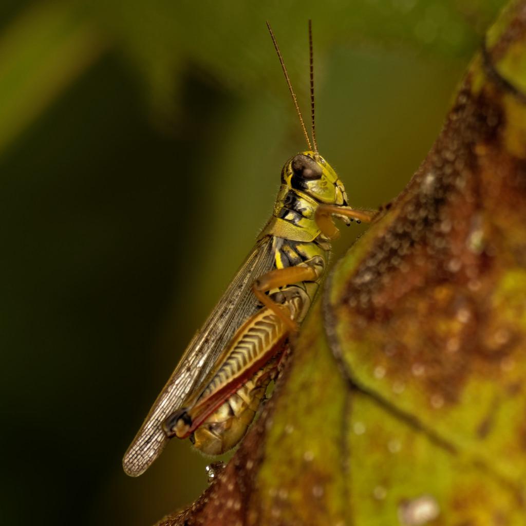 red-legged grasshopper by rminer