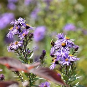 30th Sep 2020 - Wild Aster