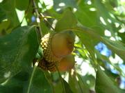 30th Sep 2020 - Acorns in Oak Tree