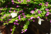 1st Oct 2020 - A Real Butterfly Bush