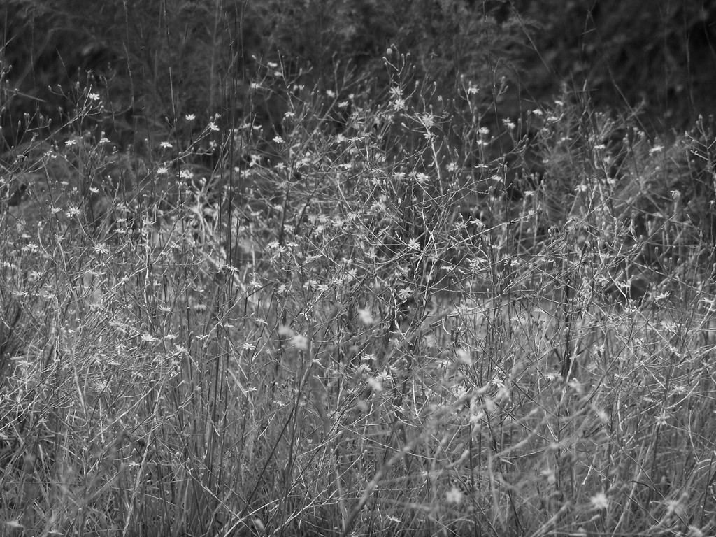 Pityopsis graminifolia... by marlboromaam