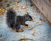 30th Sep 2020 - Another Squirrel