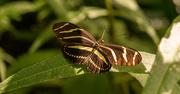 30th Sep 2020 - Zebra Longwing Butterfly!