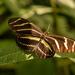 Zebra Longwing Butterfly!