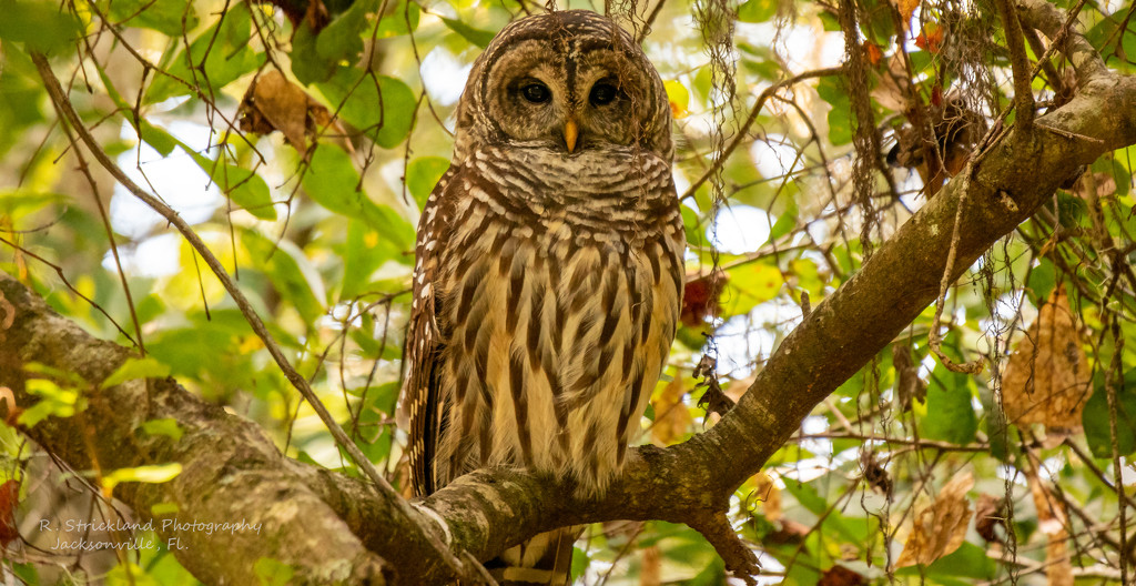 Barred Owl Keeping an Eye on Me! by rickster549