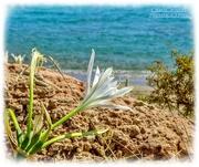 1st Oct 2020 - Sea Lily,Xerocambos,Crete