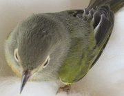1st Oct 2020 - A finch flew against our patio doors