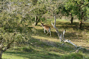 1st Oct 2020 - just another deer